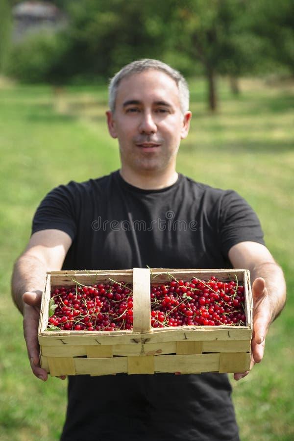 De mens glimlacht en houdt mand met rode aalbessen stock fotografie