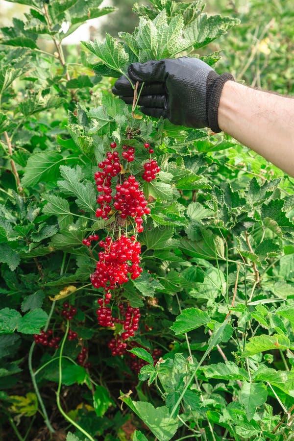 De mens houdt een bos van rode aalbessen in de zomer stock fotografie