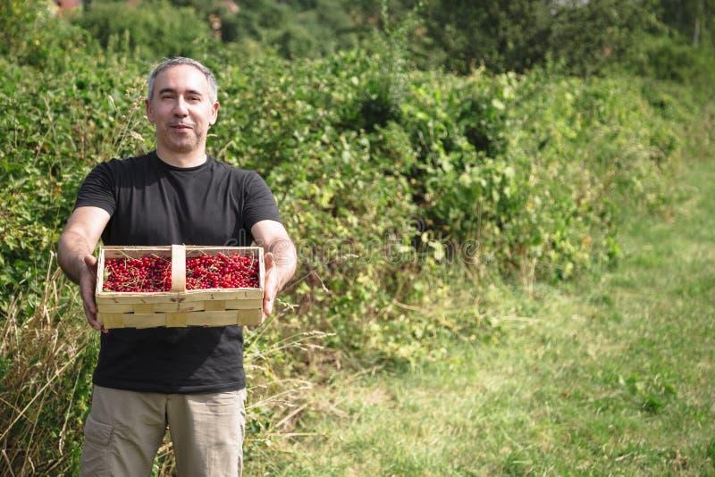 De mens houdt rode aalbessen in een mand royalty-vrije stock foto
