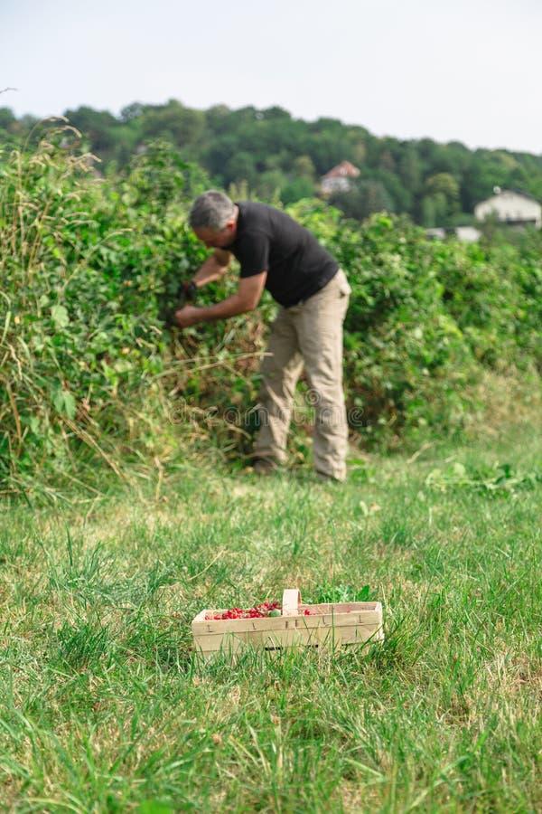 De mens neemt de rode aalbessen in de tuin op royalty-vrije stock afbeelding