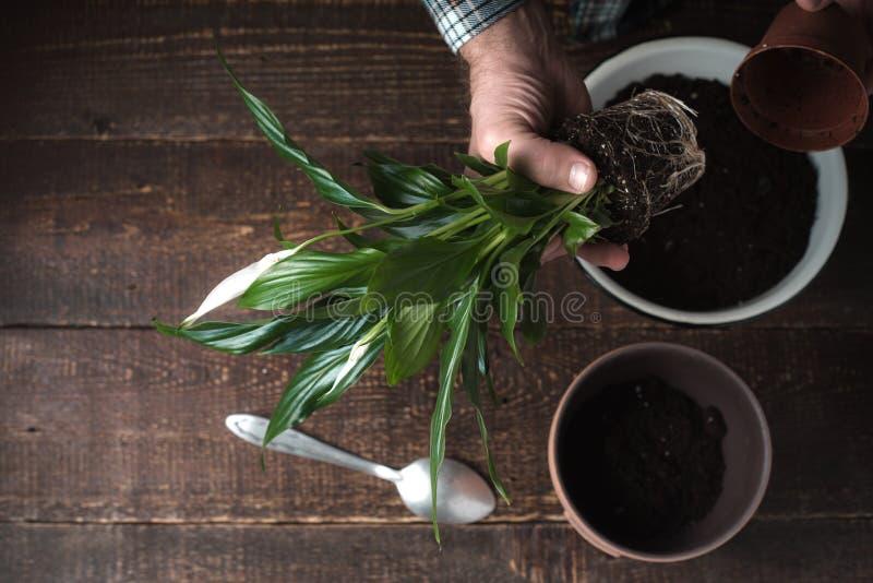 De mens plant een bloem Spathiphyllum in bloempot op over het recht royalty-vrije stock afbeeldingen