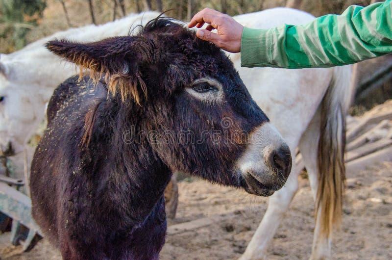 De mens strijkt een ezel royalty-vrije stock afbeelding