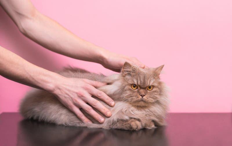 De mens strijkt een grijs huisdier op een roze achtergrond, houdt van een kat het te strijken royalty-vrije stock foto