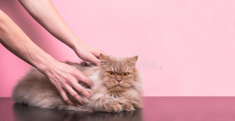 De mens strijkt een grijze kat op een roze achtergrond, houdt van een kat het te strijken royalty-vrije stock afbeelding
