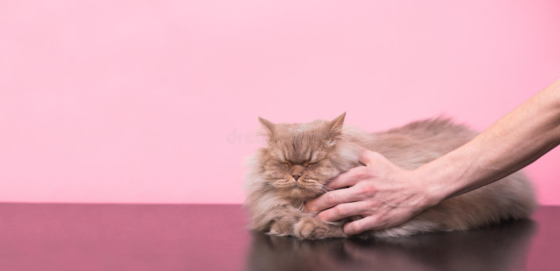 De mens strijkt een grijze, pluizige kat op een roze achtergrond, houdt van een kat het te strijken, krijgt hij genoegen met zijn royalty-vrije stock afbeelding
