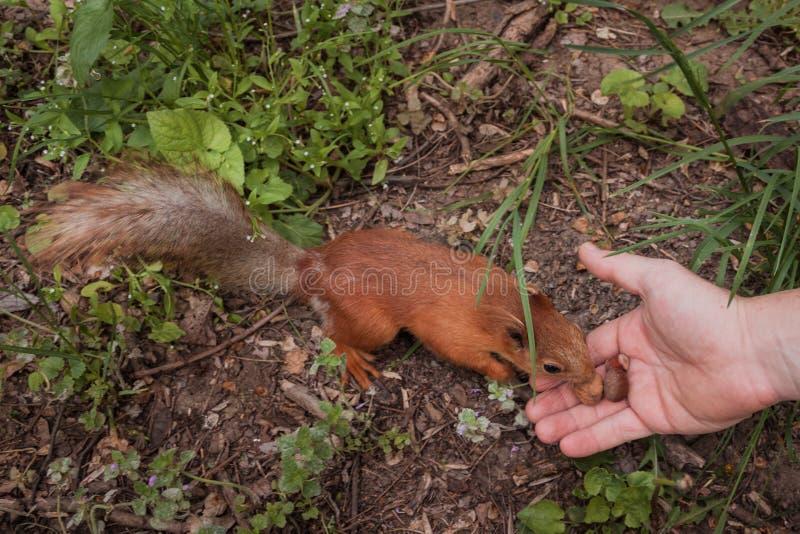 De mens voedt een eekhoorn met noten in de boseekhoorn kiest de grootste noot van de menselijke palm gezellige vriendschappelijke stock fotografie