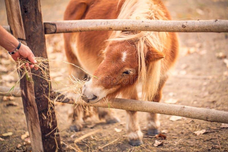 De mens voedt een mooi poneypaard dichte omhooggaand stock afbeeldingen