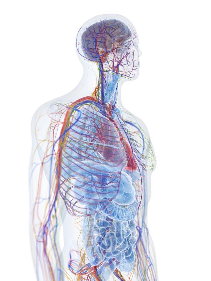 de menselijke anatomie vector illustratie