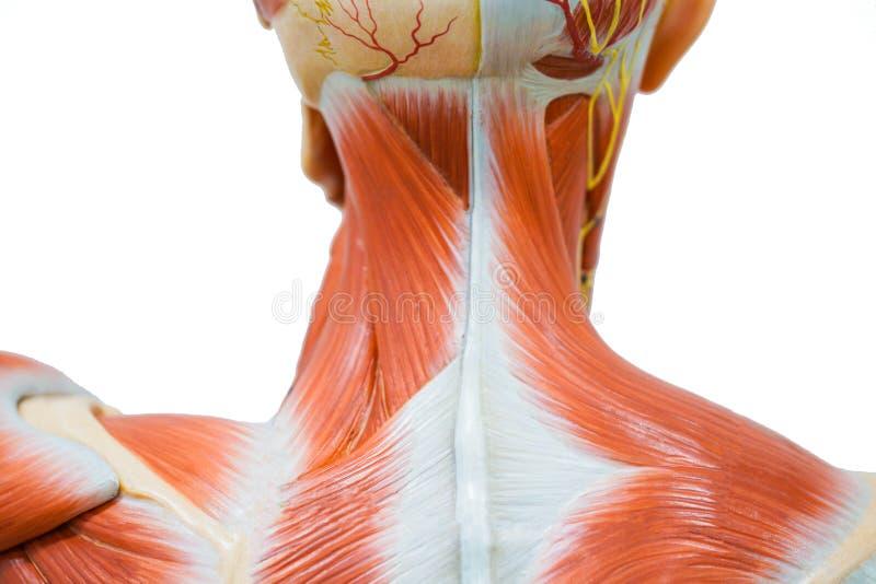 De menselijke anatomie van de halsspier stock foto's