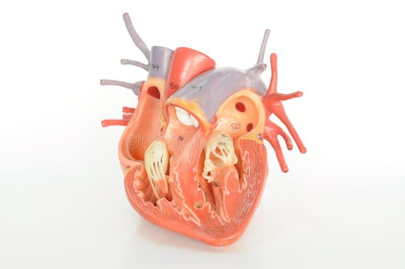De menselijke anatomie van het hart stock foto's
