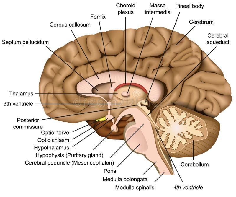 De menselijke 3d illustratie van de hersenenanatomie op witte achtergrond stock illustratie