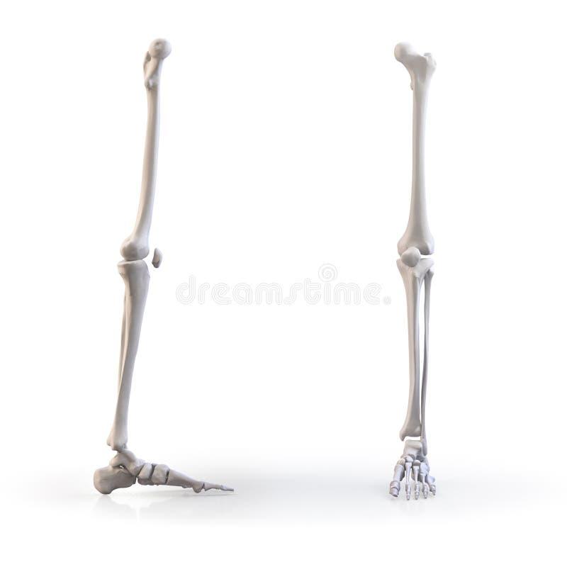De menselijke geïsoleerde beenderen van het voetskelet royalty-vrije illustratie