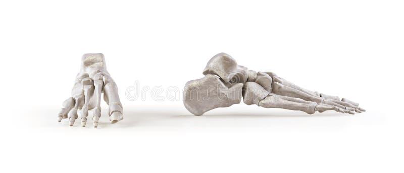 De menselijke geïsoleerde beenderen van het voetskelet vector illustratie