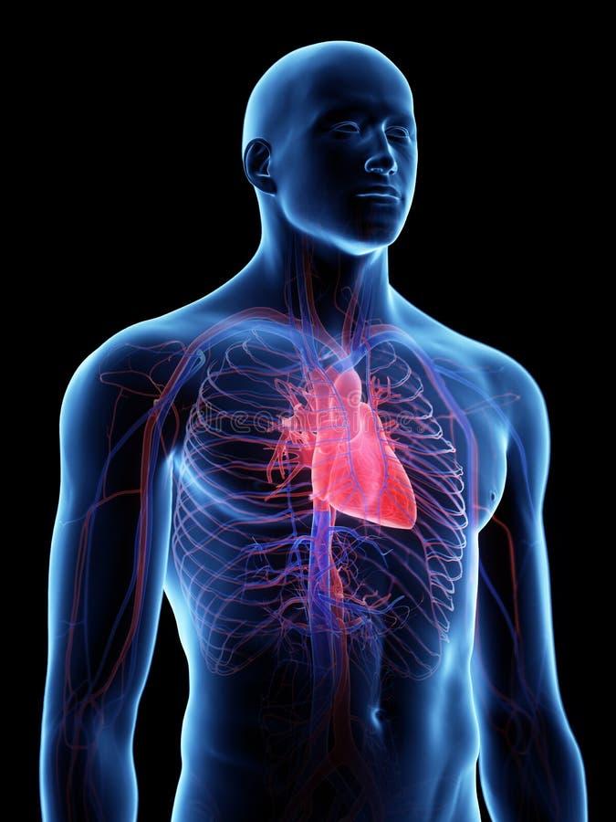 De menselijke hartanatomie royalty-vrije illustratie