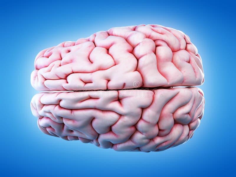 De menselijke hersenen vector illustratie