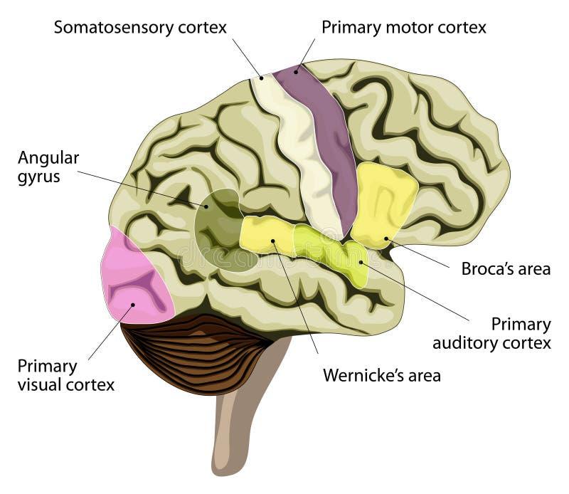 De menselijke hersenen Corticale vertegenwoordiging van toespraak en taal royalty-vrije illustratie