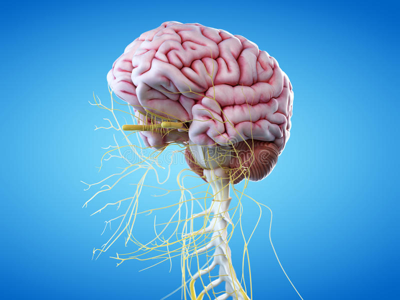 De menselijke hersenen en de hoofdzenuwen stock illustratie