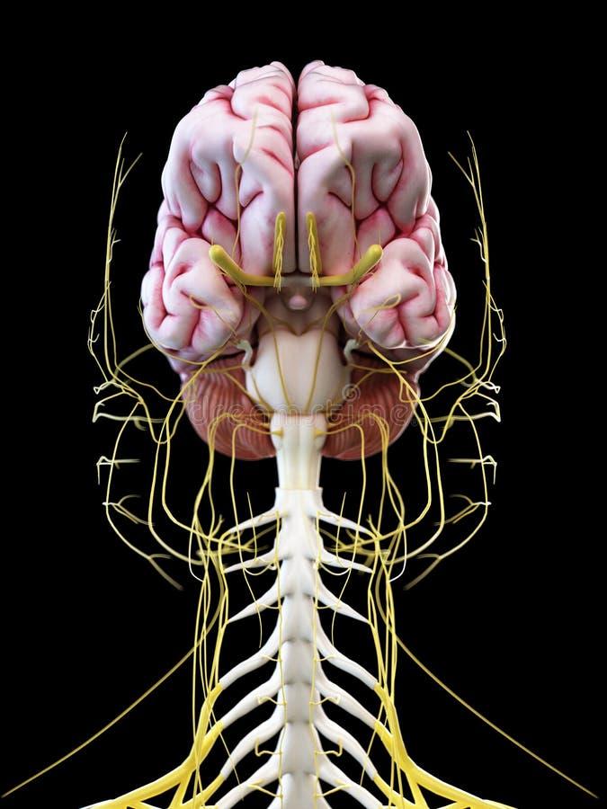 De menselijke hersenen en de hoofdzenuwen royalty-vrije illustratie