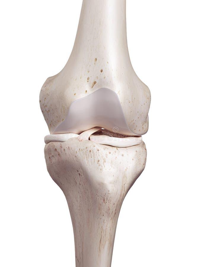 De menselijke knie stock illustratie