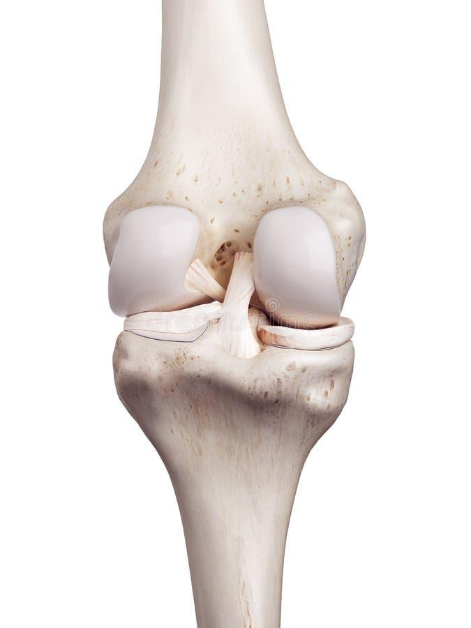 De menselijke knie vector illustratie
