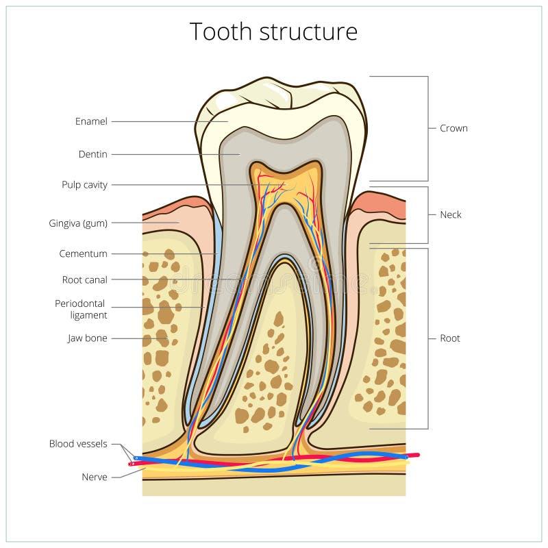 De menselijke medische vector van de tandstructuur vector illustratie
