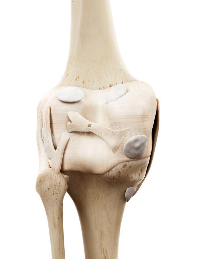 De menselijke skeletachtige knie royalty-vrije illustratie