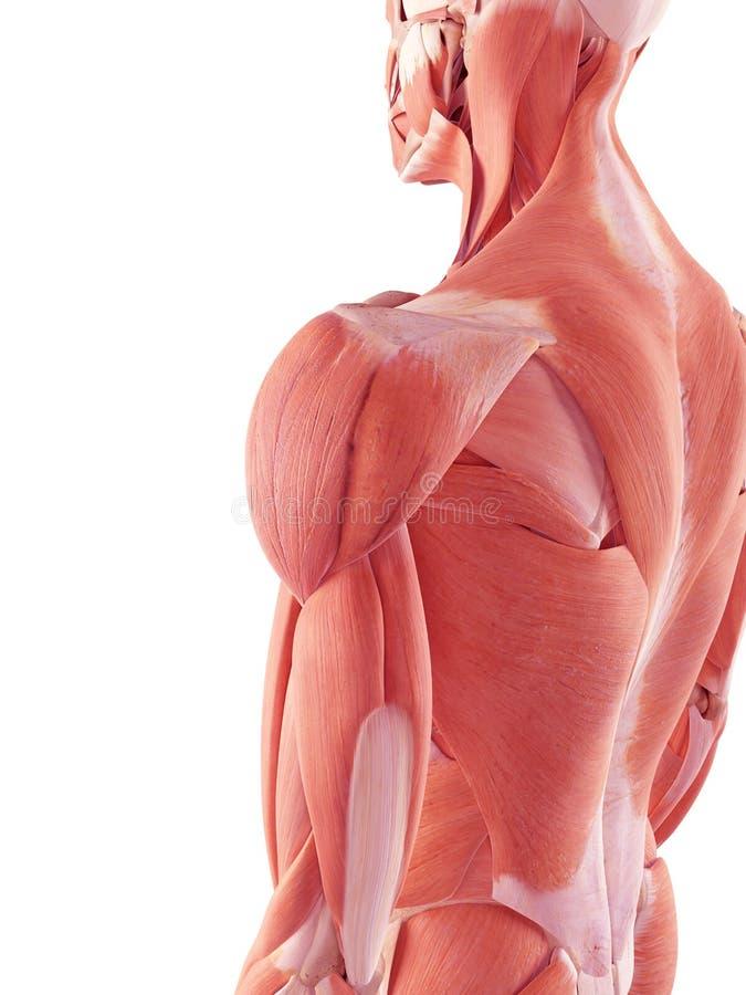 De menselijke spieren vector illustratie