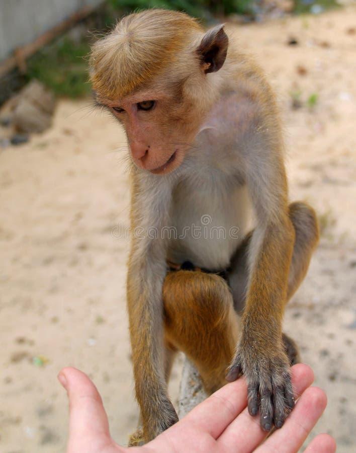De menselijke vriendschap van de aap stock foto's