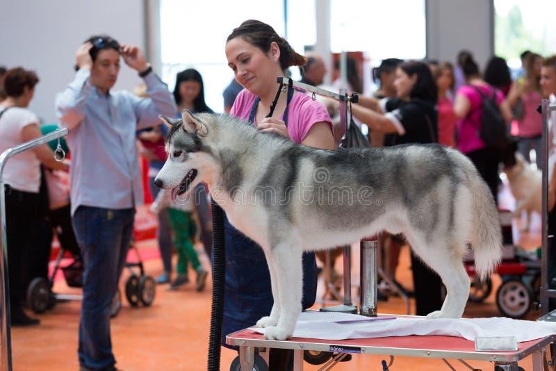 De mensen en de honden treffen voor de tentoonstelling voorbereidingen stock fotografie