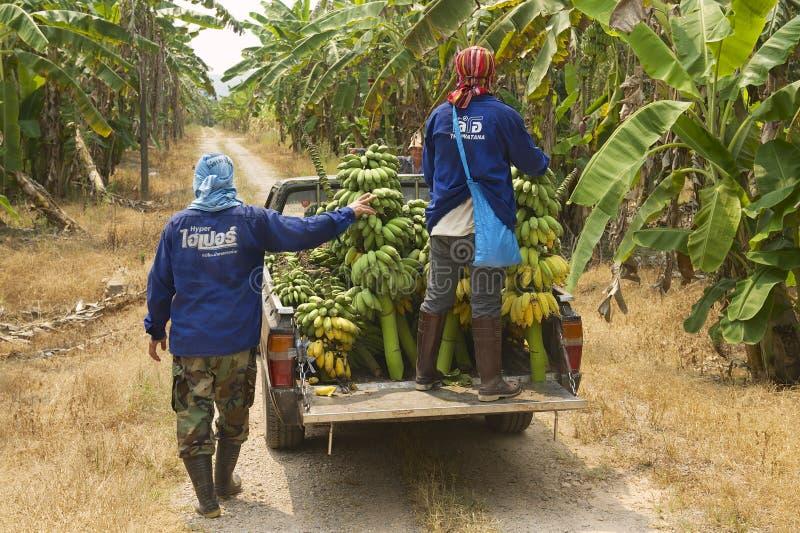 De mensen oogsten bananen bij de aanplanting in Chumphon, Thailand stock foto