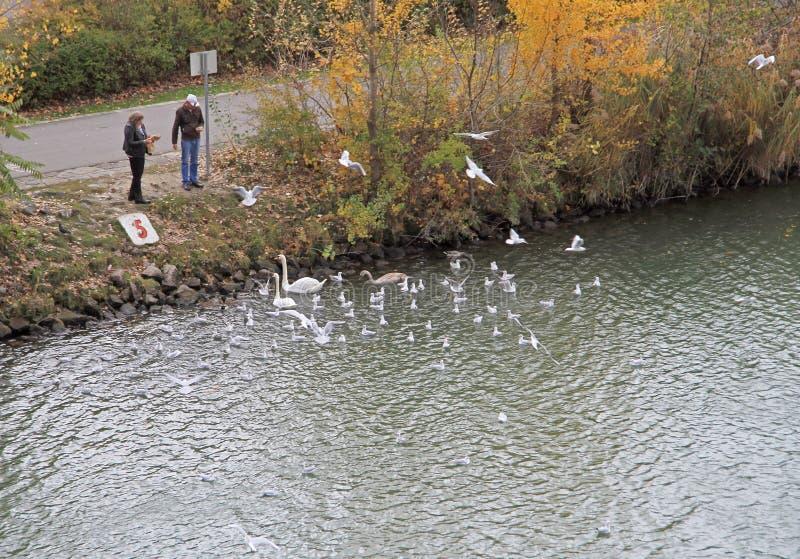 De mensen voeden zwanen op de rivier in Wenen, Oostenrijk stock foto's