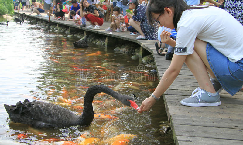 De mensen voeden zwanen in park van Chengdu, China stock fotografie