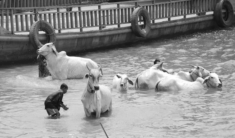 de mensen wassen hun koeien stock foto