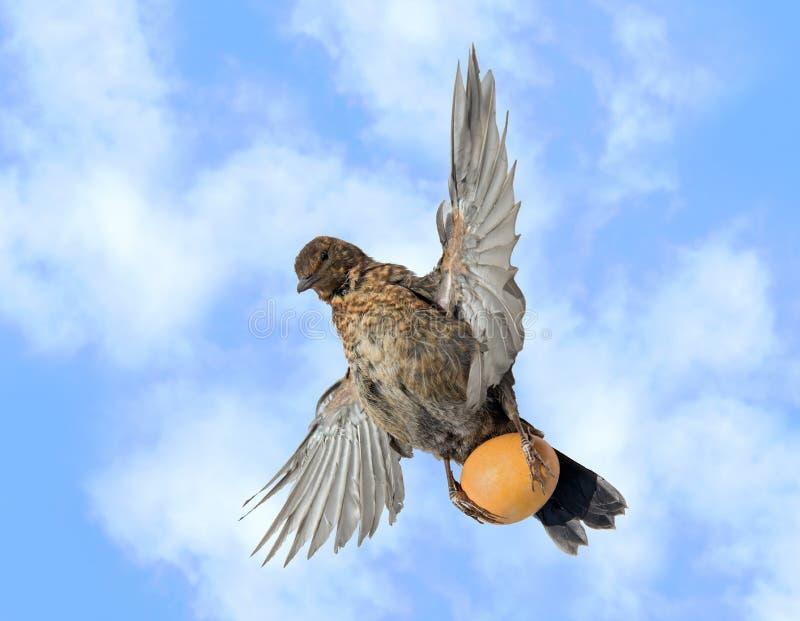De merel vliegt in de blauwe hemel en draagt ei stock afbeeldingen