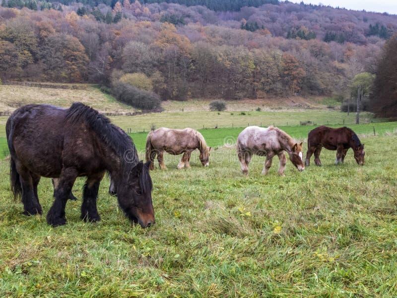 De merries en de veulennen die van Ardennen in een Belgische weide weiden stock foto's