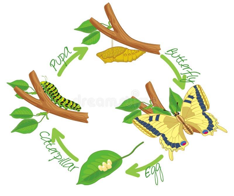 De metamorfose van de vlinder vector illustratie