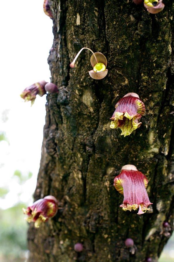 De Mexicaanse Kalebasboombloem, bloeit wilde flora stock afbeeldingen