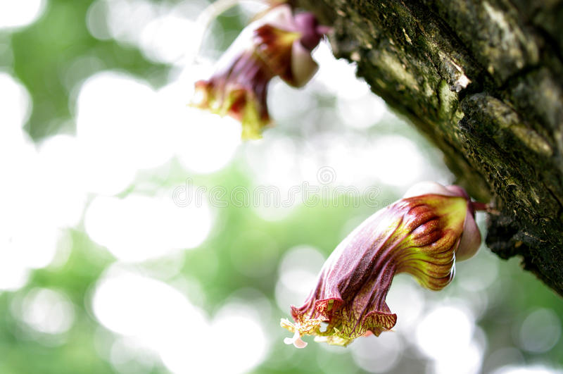 De Mexicaanse Kalebasboombloem, bloeit wilde flora stock fotografie