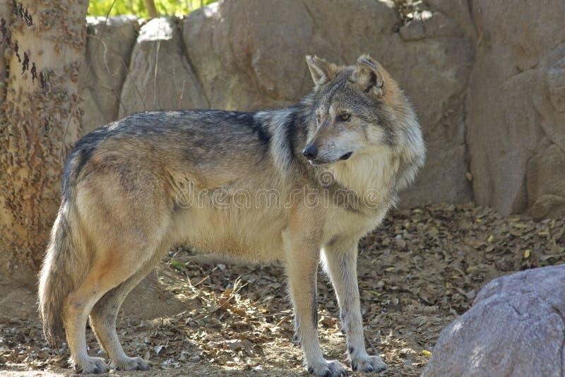 De Mexicaanse Status van de Wolf stock foto
