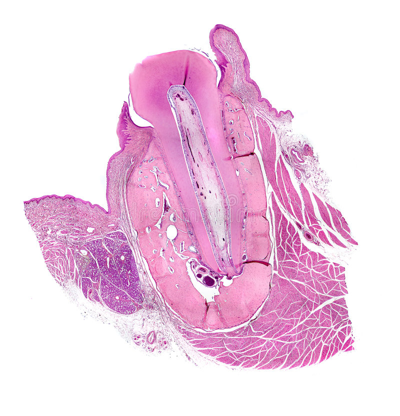 De microscopie van Menselijke Tand royalty-vrije stock afbeelding