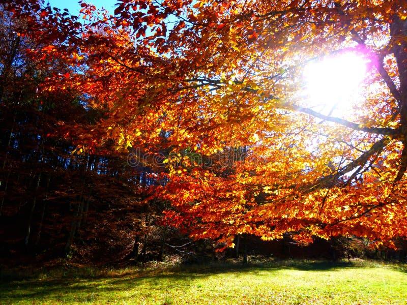 De middagzon die tussen de gouden herfst glanzen doorbladert stock foto