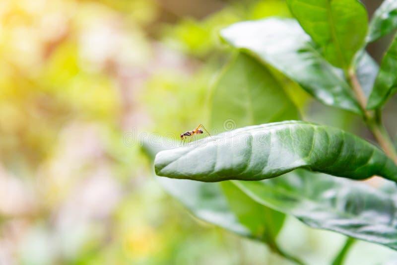 De Mier die van de bladsnijder op groen blad lopen Macrofotografie met zonneschijnochtend royalty-vrije stock foto
