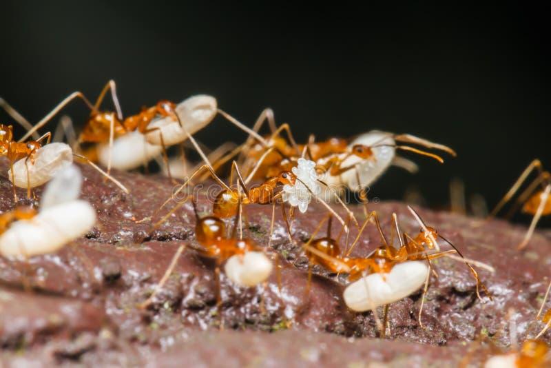 De mier draagt eieren stock foto