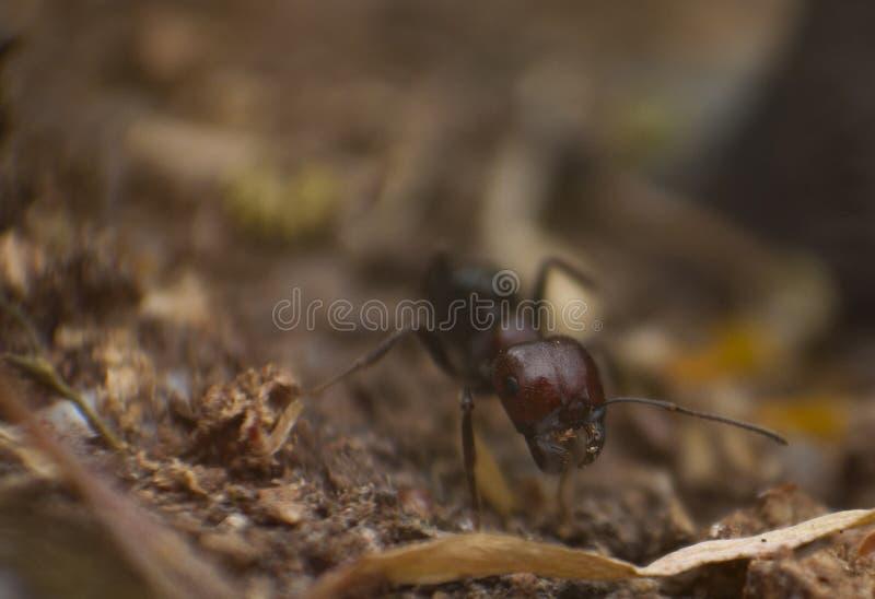 De mier in nadruk, sluit omhoog, macrofotografie royalty-vrije stock foto's