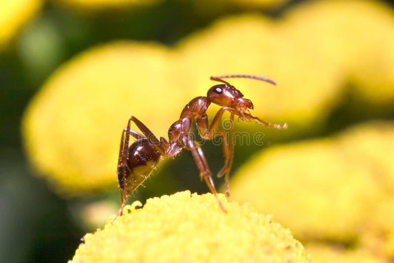 De Mier van de honing stock afbeeldingen