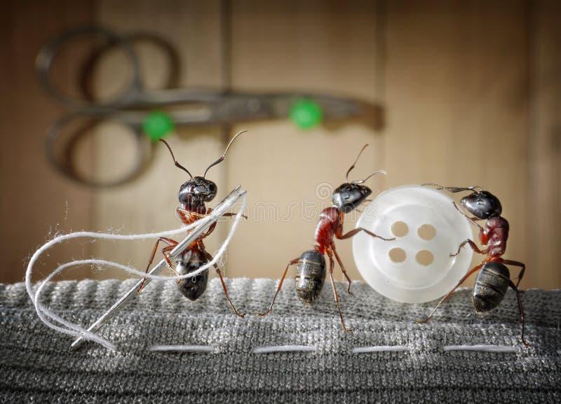 De mier van de kleermaker en team die van mieren slijtage naaien stock afbeeldingen