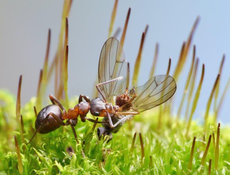 De mier van de leverancier draagt dode vlieg stock foto