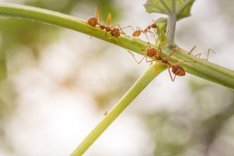 De mieren die op de takken en de bladeren lopen stock fotografie