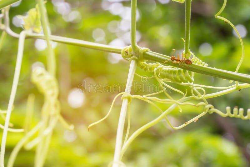 De mieren die op de takken en de bladeren lopen royalty-vrije stock afbeelding