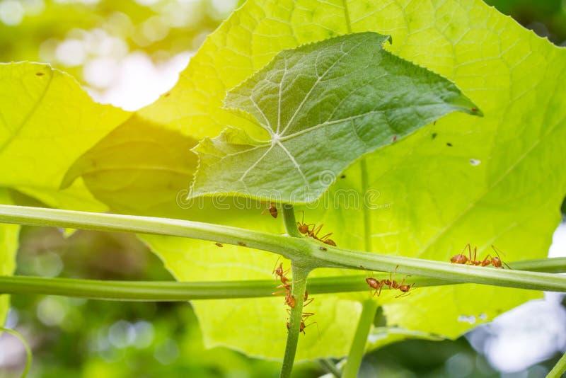 De mieren die op de takken en de bladeren lopen stock afbeelding